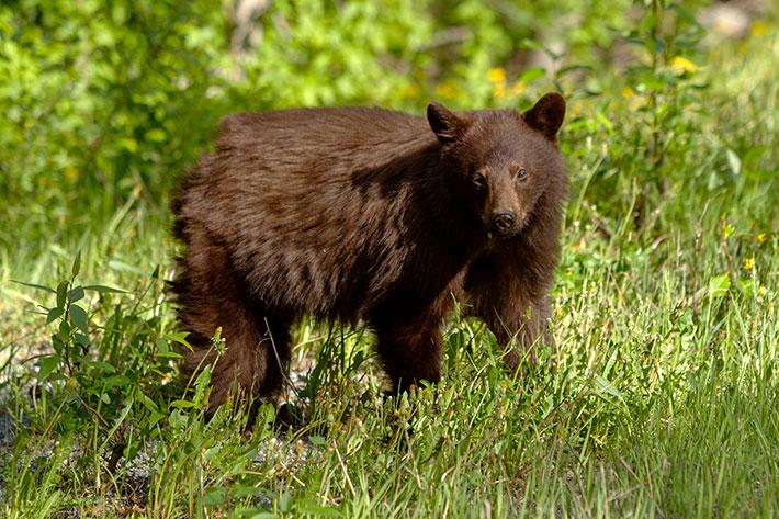 Whistler Black Bear.