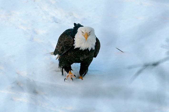 Squamish, bald eagle, Brackendale.