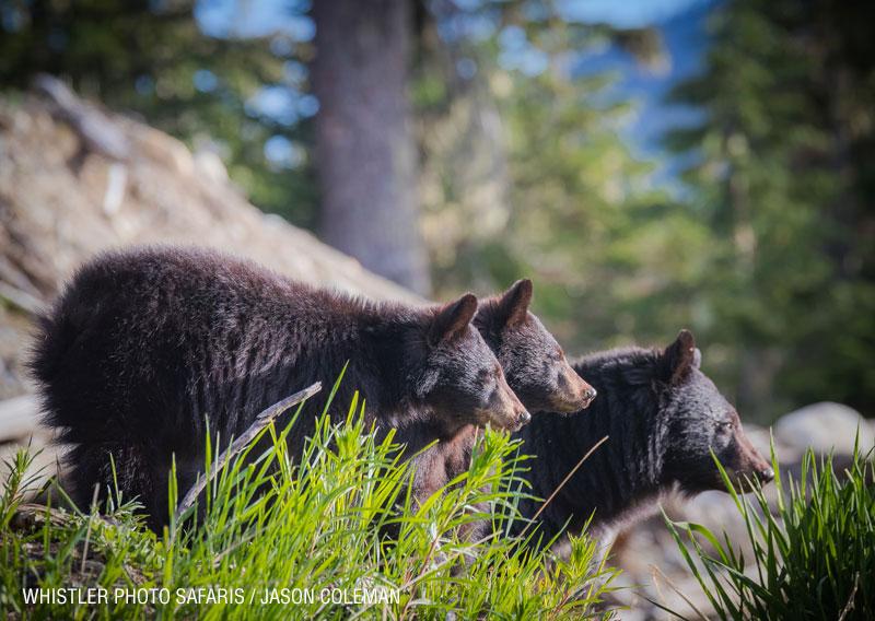 whistler photo safari bears tours