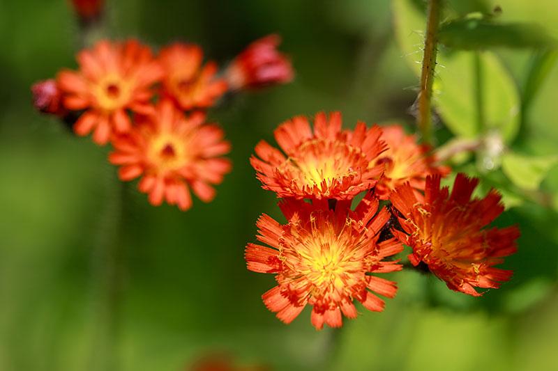 whistler summer flora
